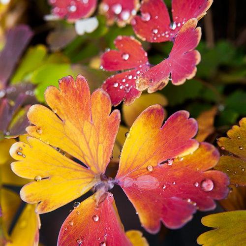 オダマキの紅葉